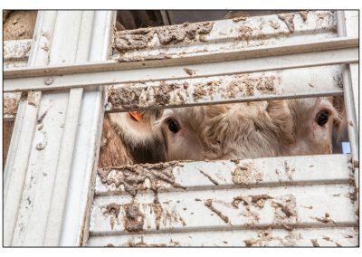 Randi Paradis Cow 4